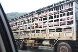 Exportações de carne suína aumentam 13,2% em novembro